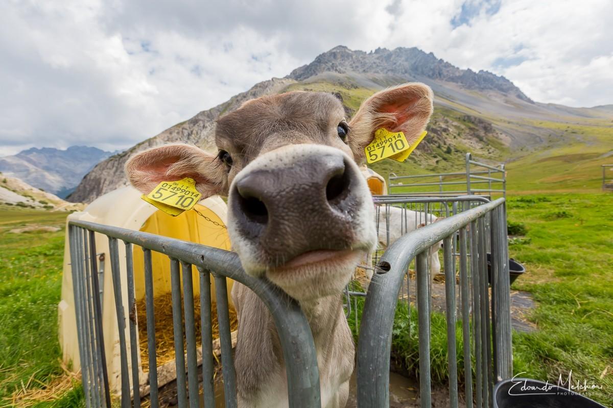 Primissimo piano di una simpatica mucca